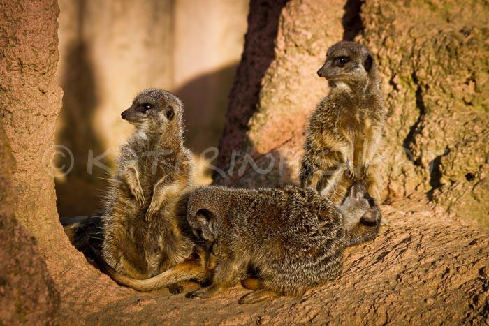 Erdmännchen Zoo Hannover